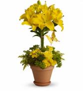 Yellow Fellow - 561 Arrangement