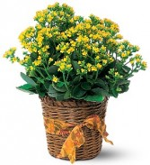 Yellow Kalancho Plant