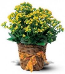 Yellow Kalanchoe  Plant Basket