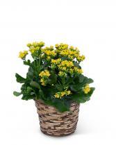 Yellow Kalanchoe Plant Plant
