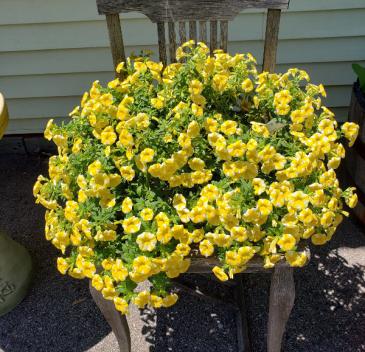 Yellow Million Bells Hanging Basket