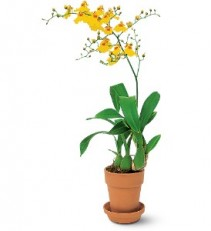 Yellow Oncidium Orchid Plant