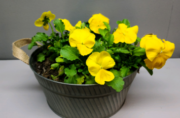 Yellow Pansies in a rustic tin Outdoor plant