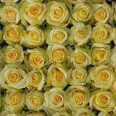 Yellow Tara Roses Available in Half Dozen, Dozen & Two Dozen