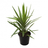 Yucca Plant Potted plant