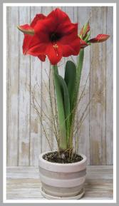 Yuletide Christmas Amaryllis Plant