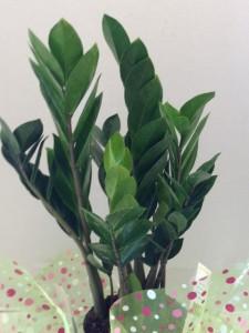 Zamioculas Zamiifolia (ZZ Plant) Large Potted Plant