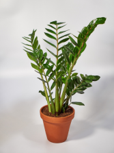 Zamioculcas Zamiifolia Table Plant