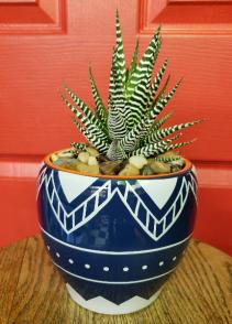 Zebra Haworthia Succulent House Plant - Currently In Stock