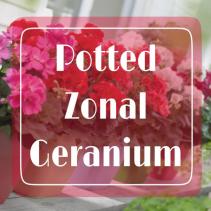 Zonal Geranium Porch Pot