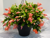 ZYGO CACTUS Blooming Plant