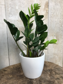 ZZ Zamioculas Zamiifolia  plant
