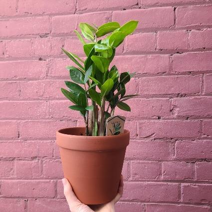 ZZ Plant Potted Plant