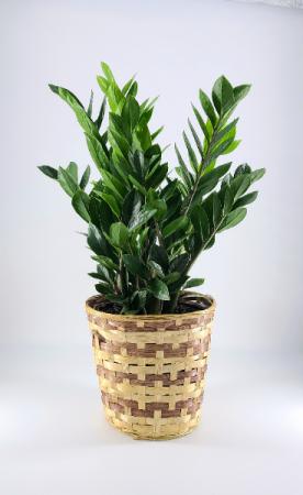 ZZ Plant 8