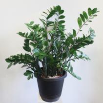 'ZZ Plant' Zamioculcas Zamiifolia