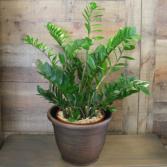 ZZ PLANT (ZAMIOCULCAS/ZANZIBAR GEM)