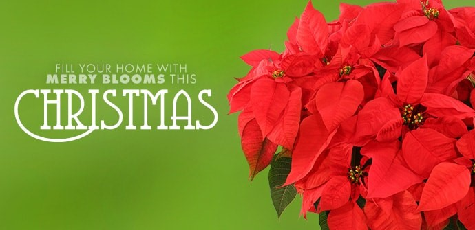 Shop Christmas Flowers for Delivery